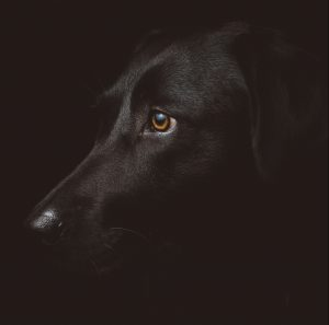 Black Dog and Pet Life Insurance